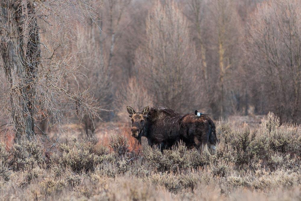 jackson hole wildlife 2